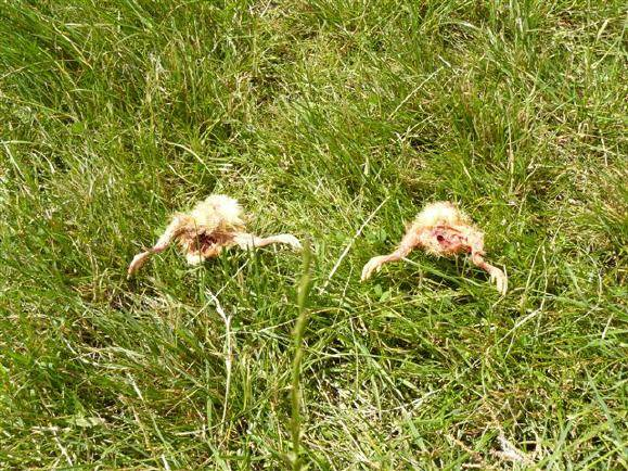Der tote Jungadler und die Küken wurden zur weiteren Untersuchung in die Uni-Klinik München gebracht, ...